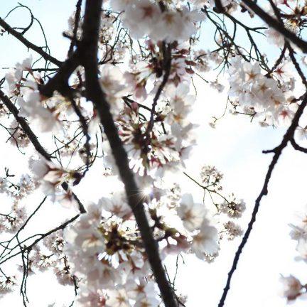 名張市の桜並木が綺麗なので見てきました!